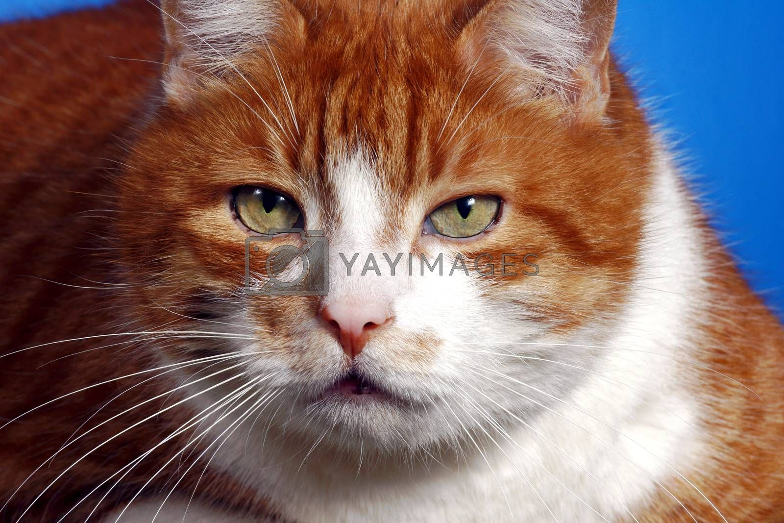 Royalty free image of portrait of ginger European cat by gkordus