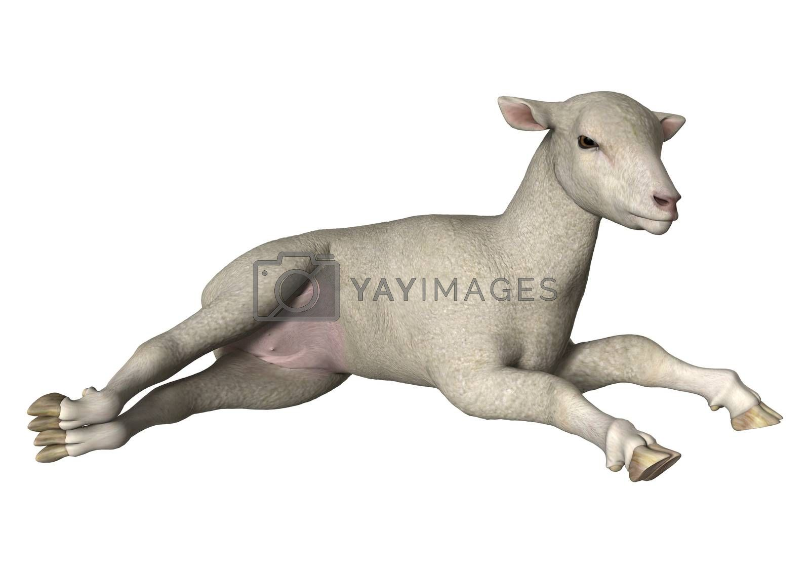 Royalty free image of Lamb on White by Vac