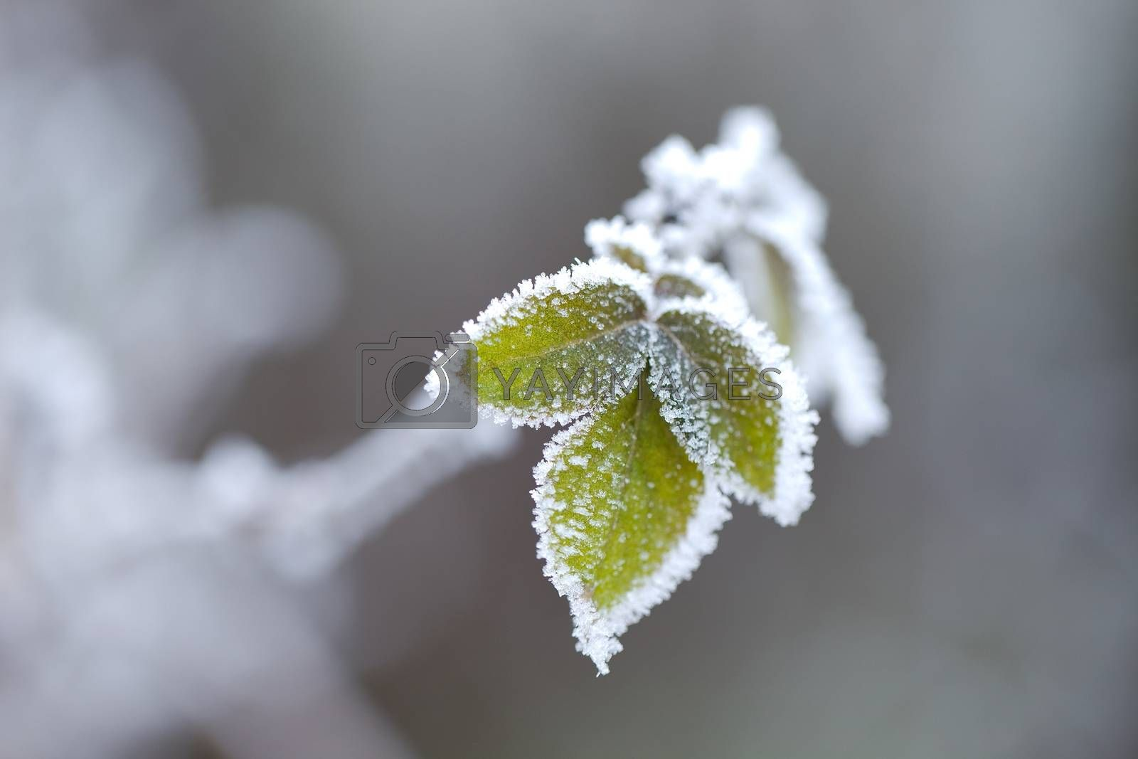 Frozen leaves of a plant in winter