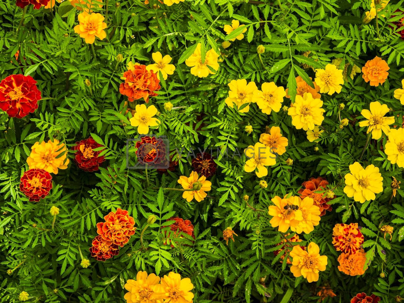 Yellow and red marigolds.