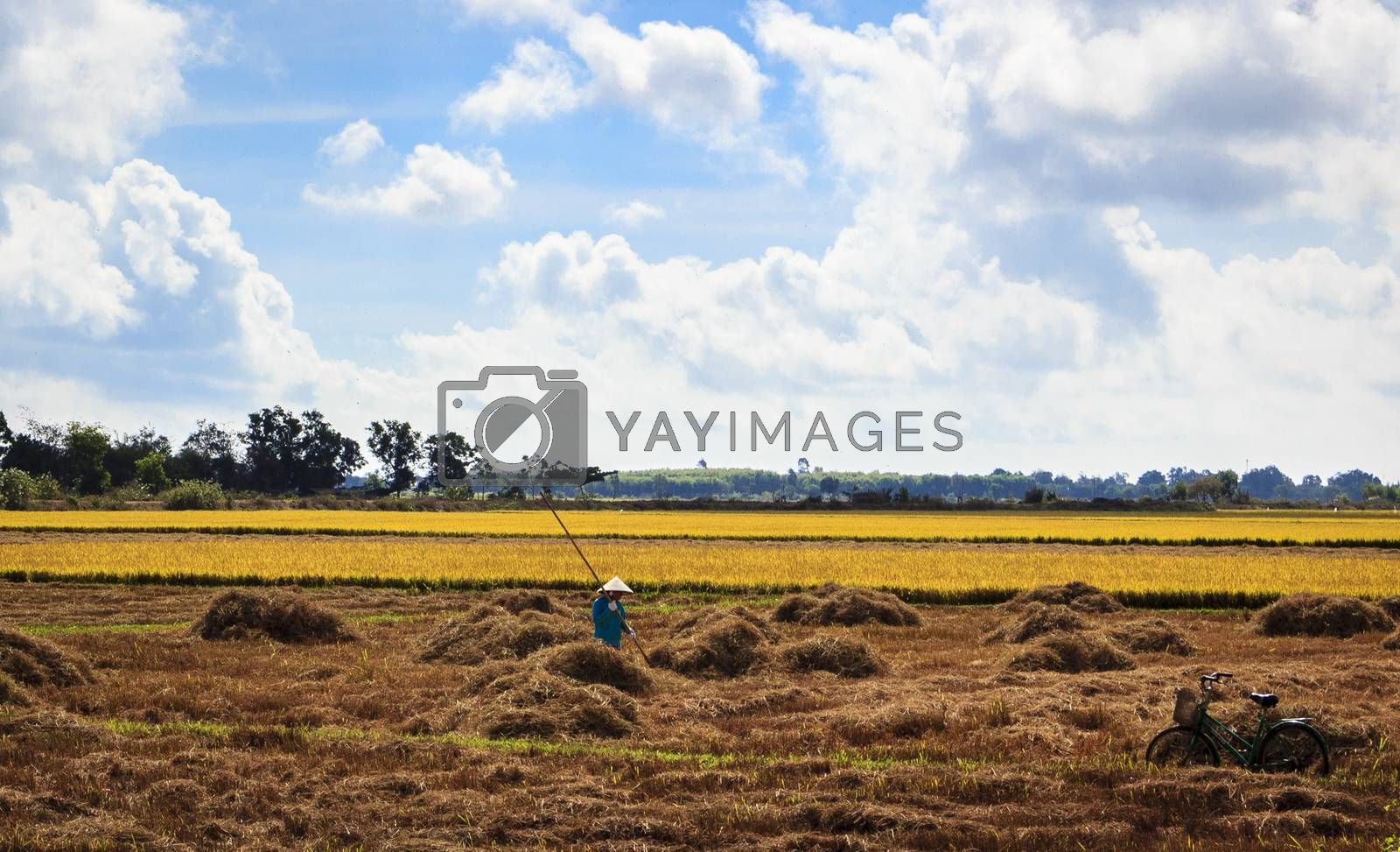 Vung Tau, Vietnam - March 29th, 2014: At the afternoon, this woman was harvesting in his field rice, in Ba Ria, Vung Tau, Vietnam