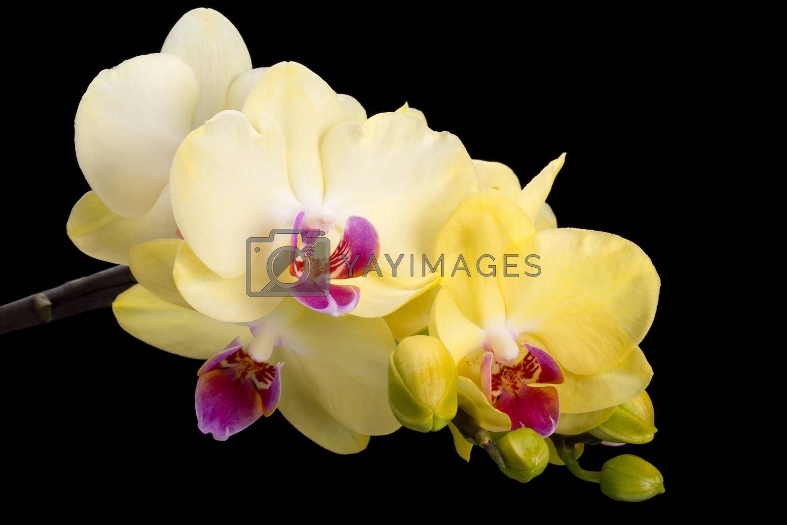 Yellow orchid isolated on black  background