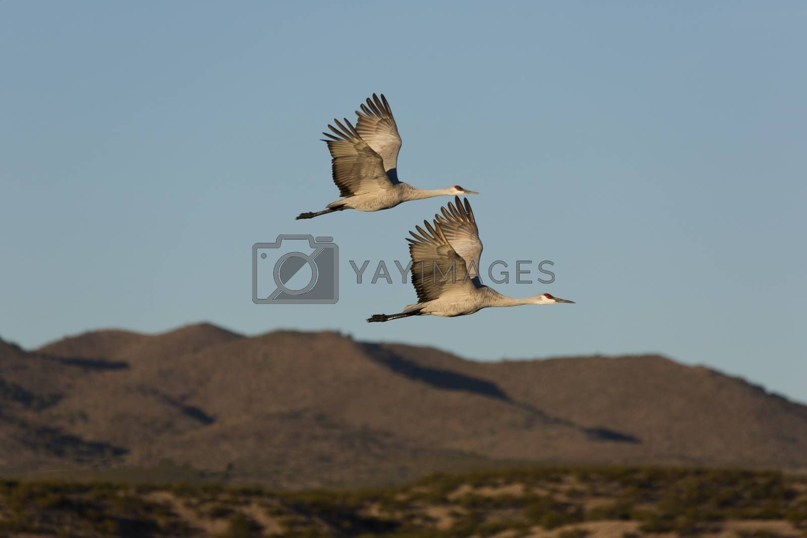 Pair of wild sandhill cranes fly together against rugged New Mexico's Chupadera Mountains.