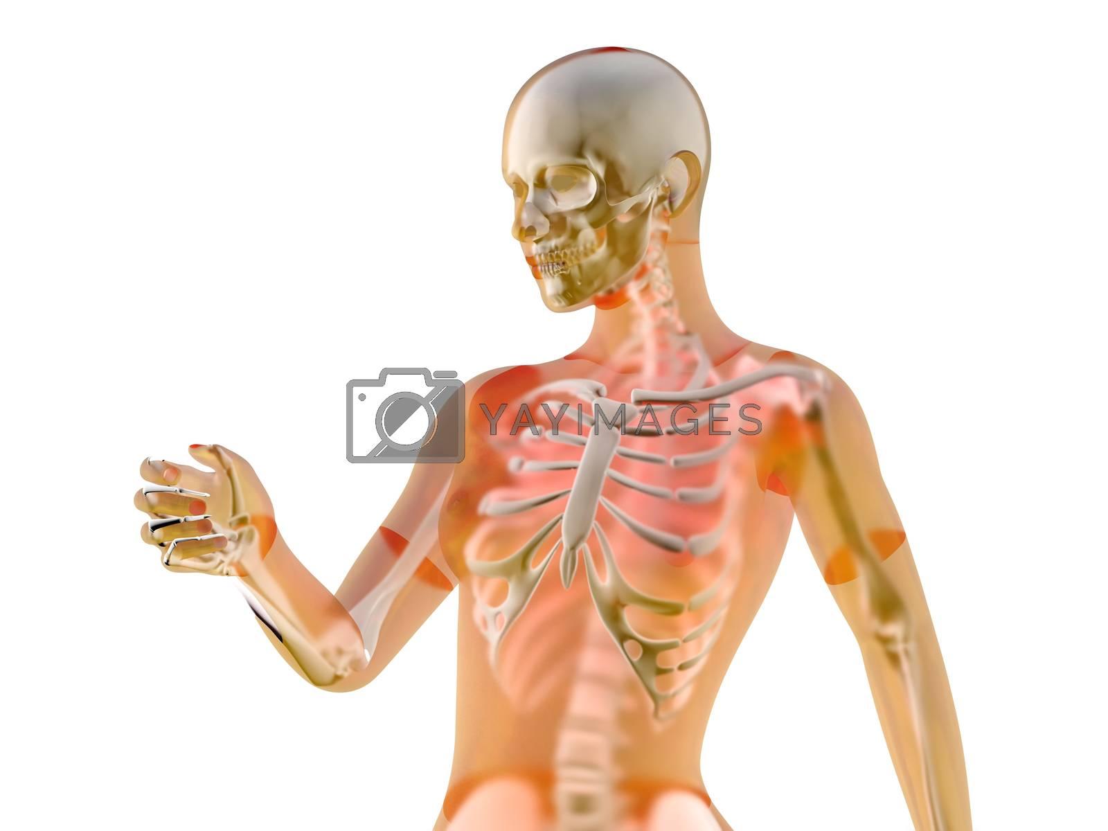 Female anatomy visualization. 3D Illustration isolated on white.