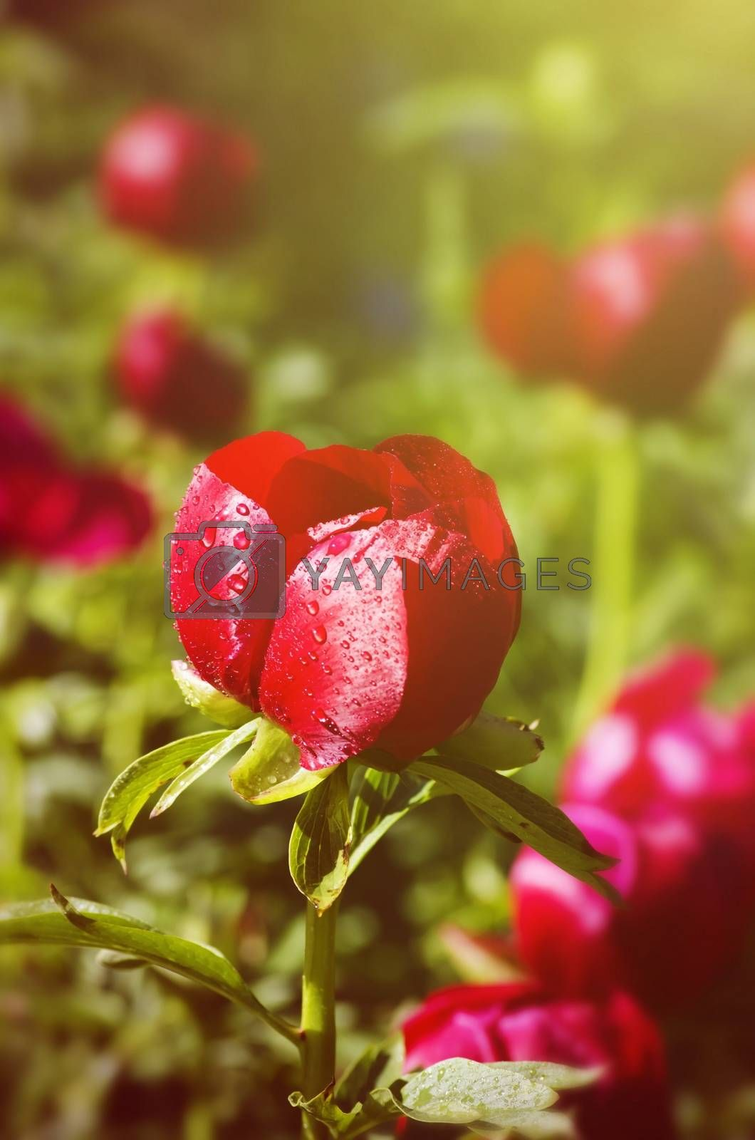 Photo of the Red Peony Flowers in Sunny Day