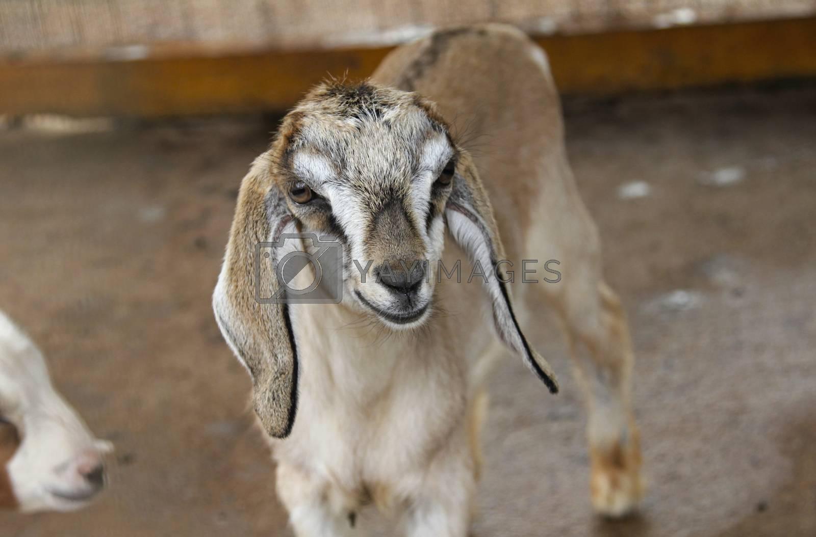A baby goat lamb animal