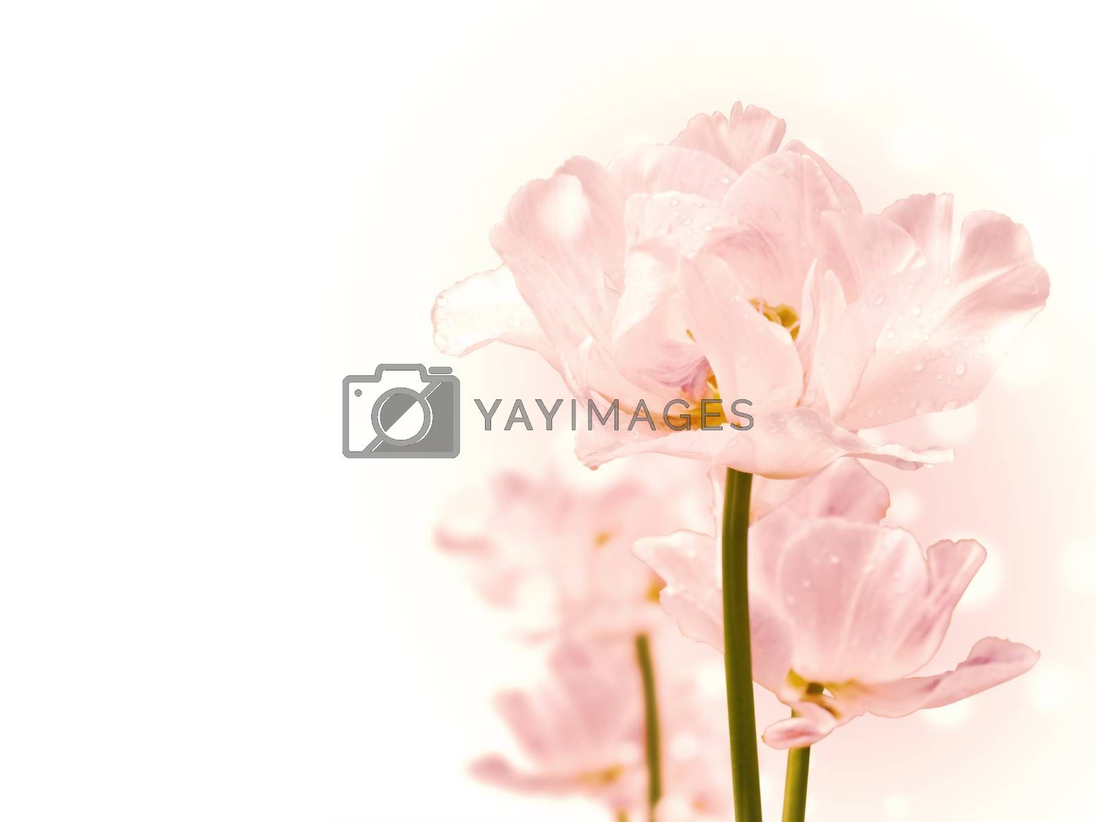 Photo of Pink Purity Flowers, Copyspace