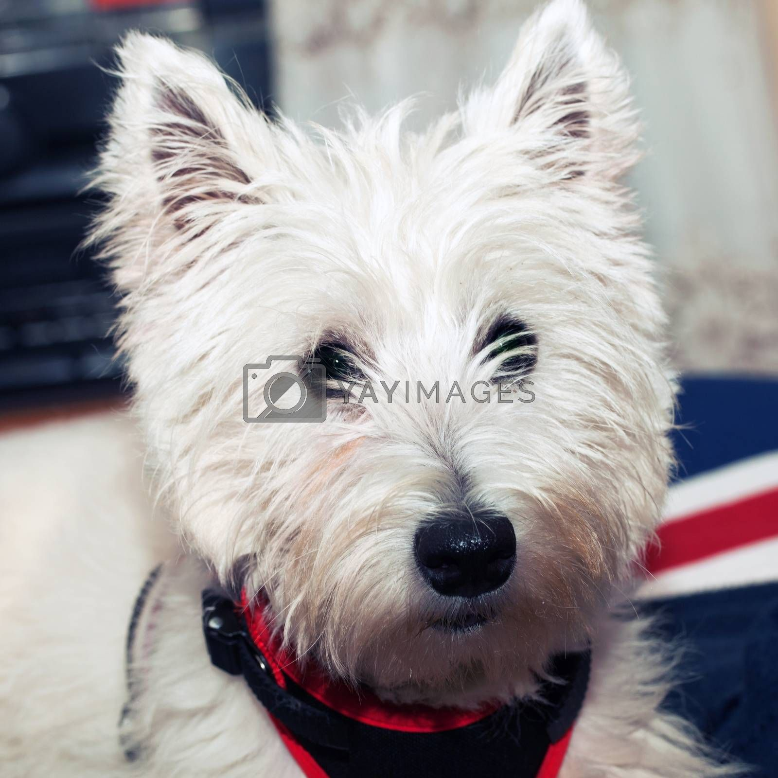 West Highlands terrier in portrait, square image