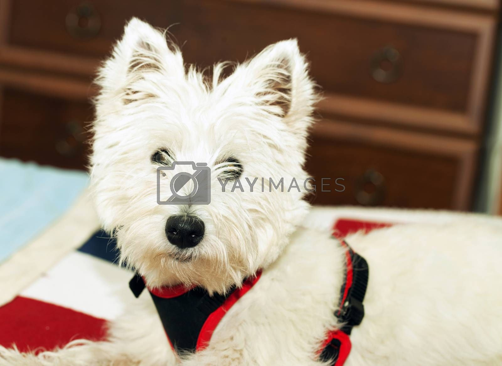 West Highlands terrier in portrait, horizontal image
