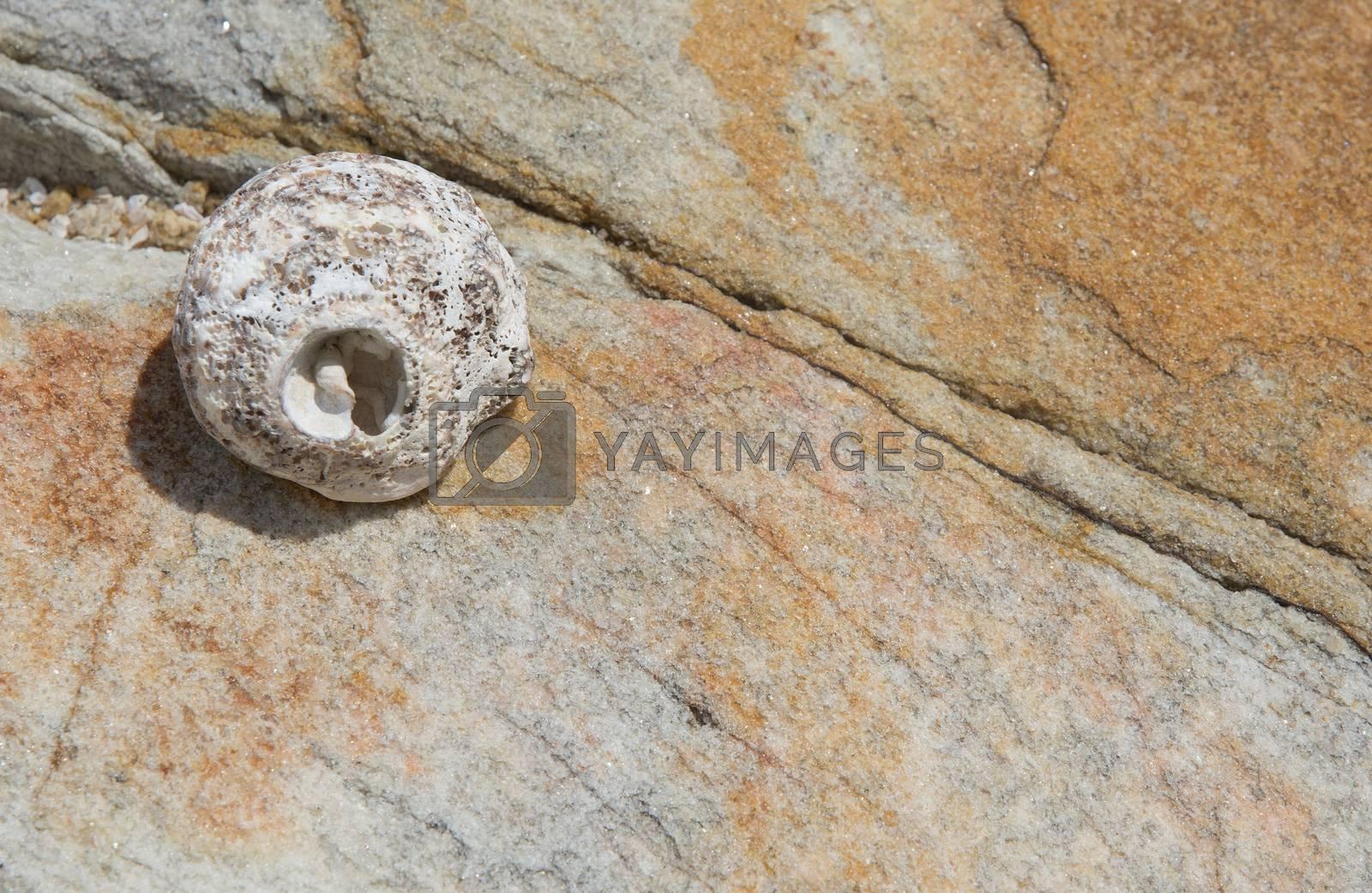 Seashell on rock background texture, Tangalle, Southern Province, Sri Lanka, Asia.