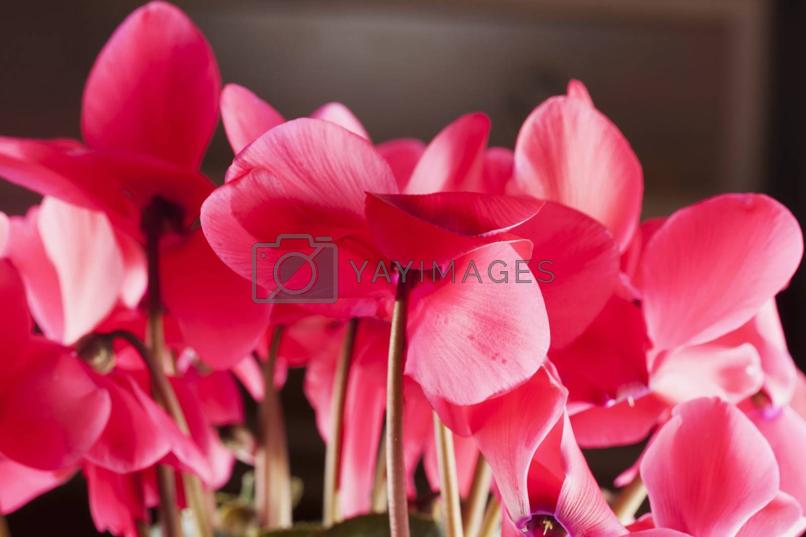 Pink cyclamen in close up, horizontal image