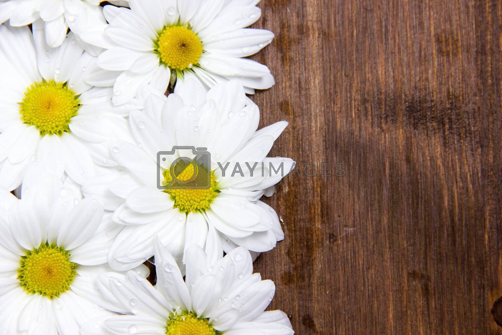 Daisies with water drops on wooden table
