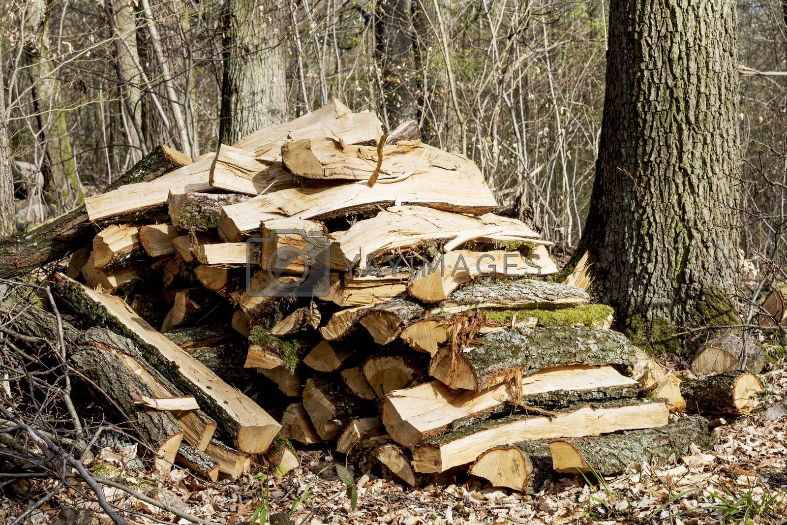 pile of forked firewood in forest ready for transport
