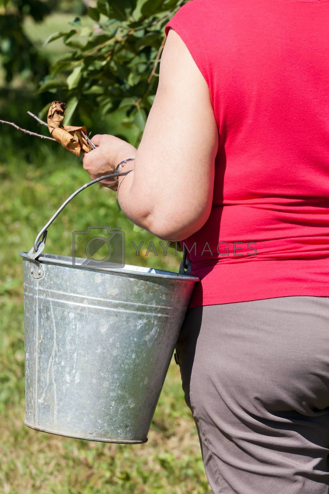the woman holds a garden bucket, cleaning dry leaves