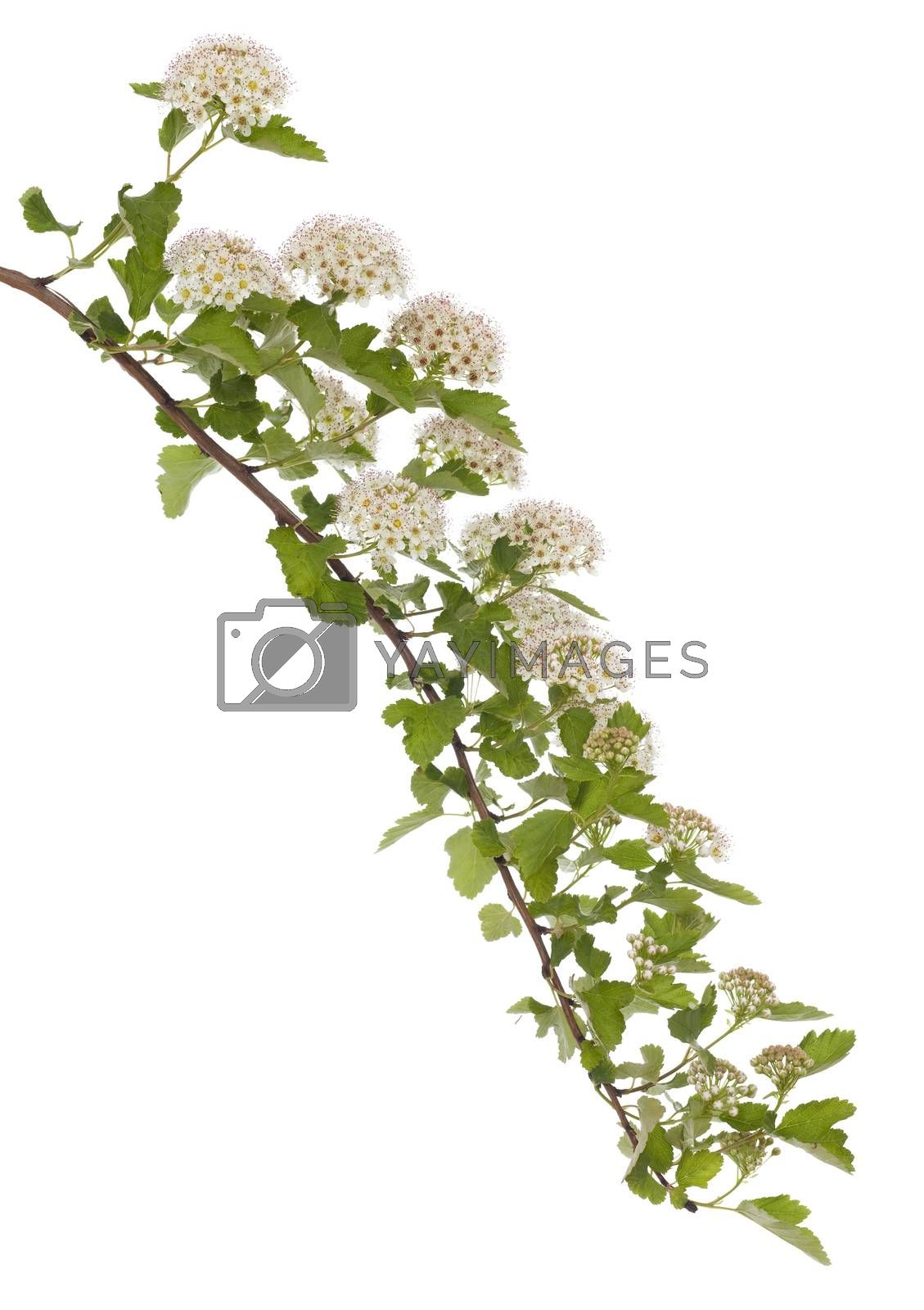 blooming branch (Physocarpus opulifolius) on white background