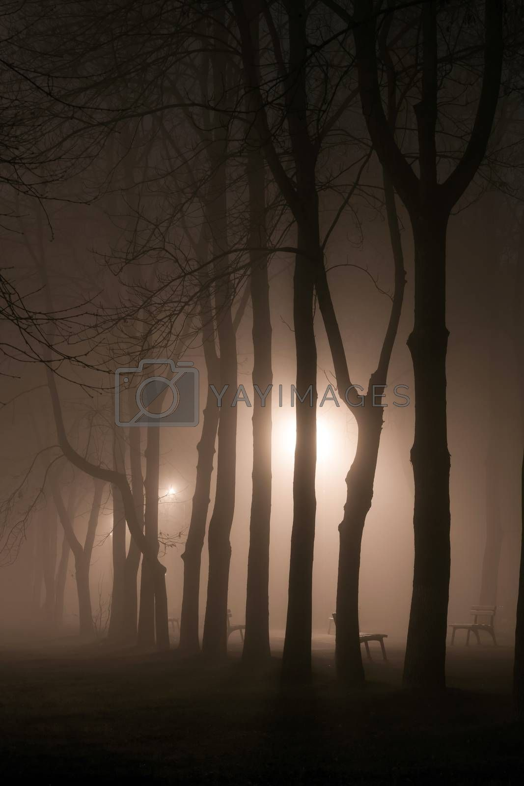Foggy park alley with benches and trees silhoettes on night by PixAchi