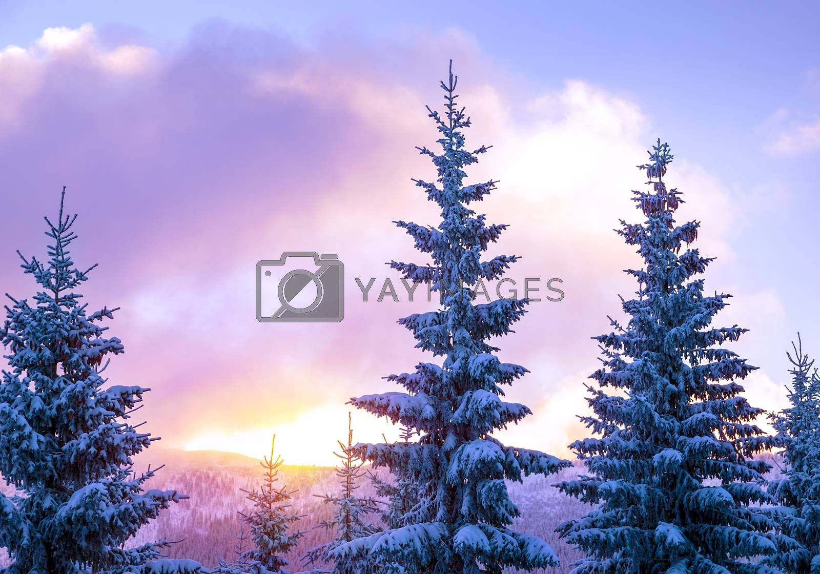 Beautiful winter landscape, high magnificent fir trees covered with fresh white snow in mild sunset light, beauty of wintertime nature