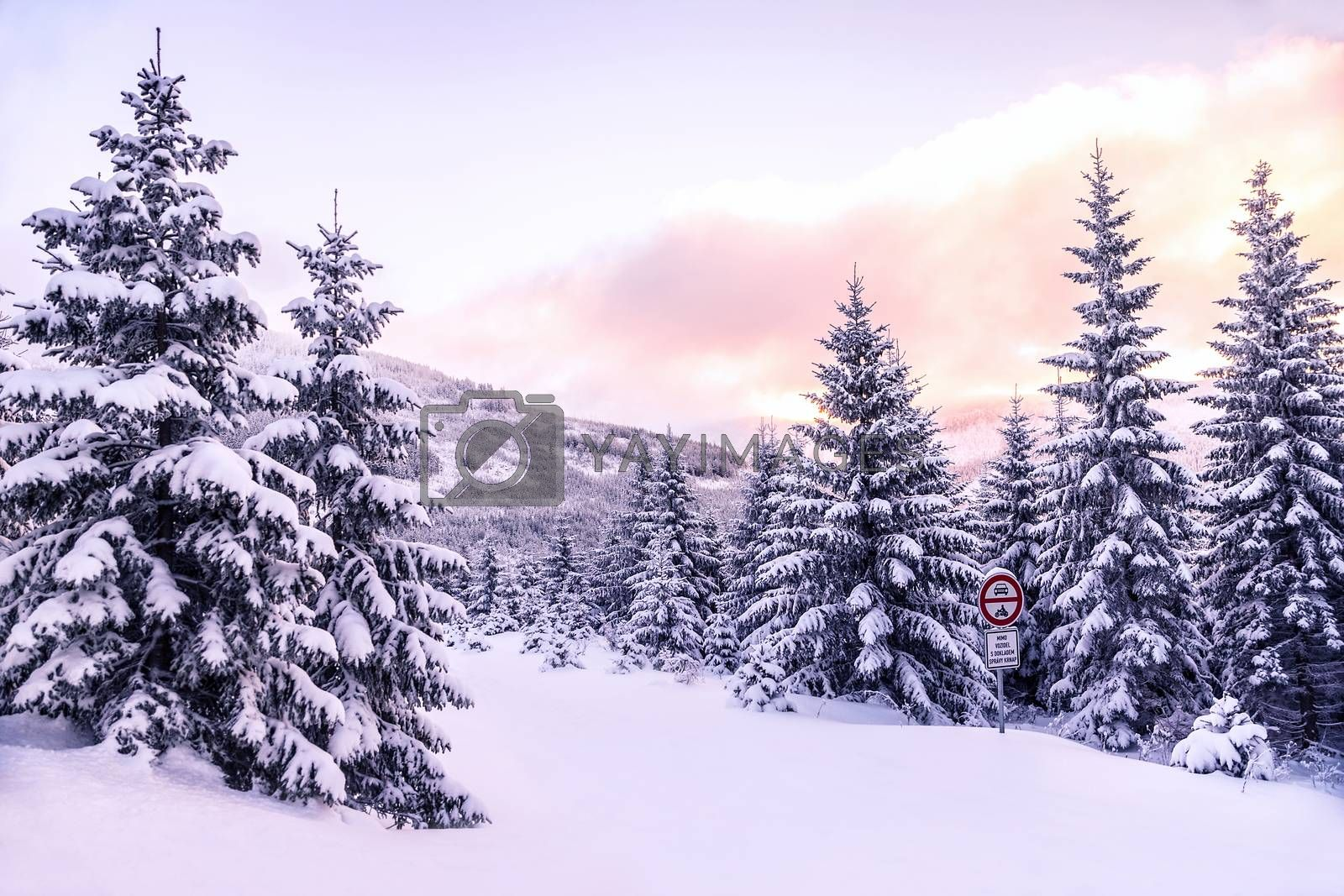 Beautiful winter forest landscape, majestic view on a pine trees covered with snow, pink sunset in mountains, wintertime beauty of nature
