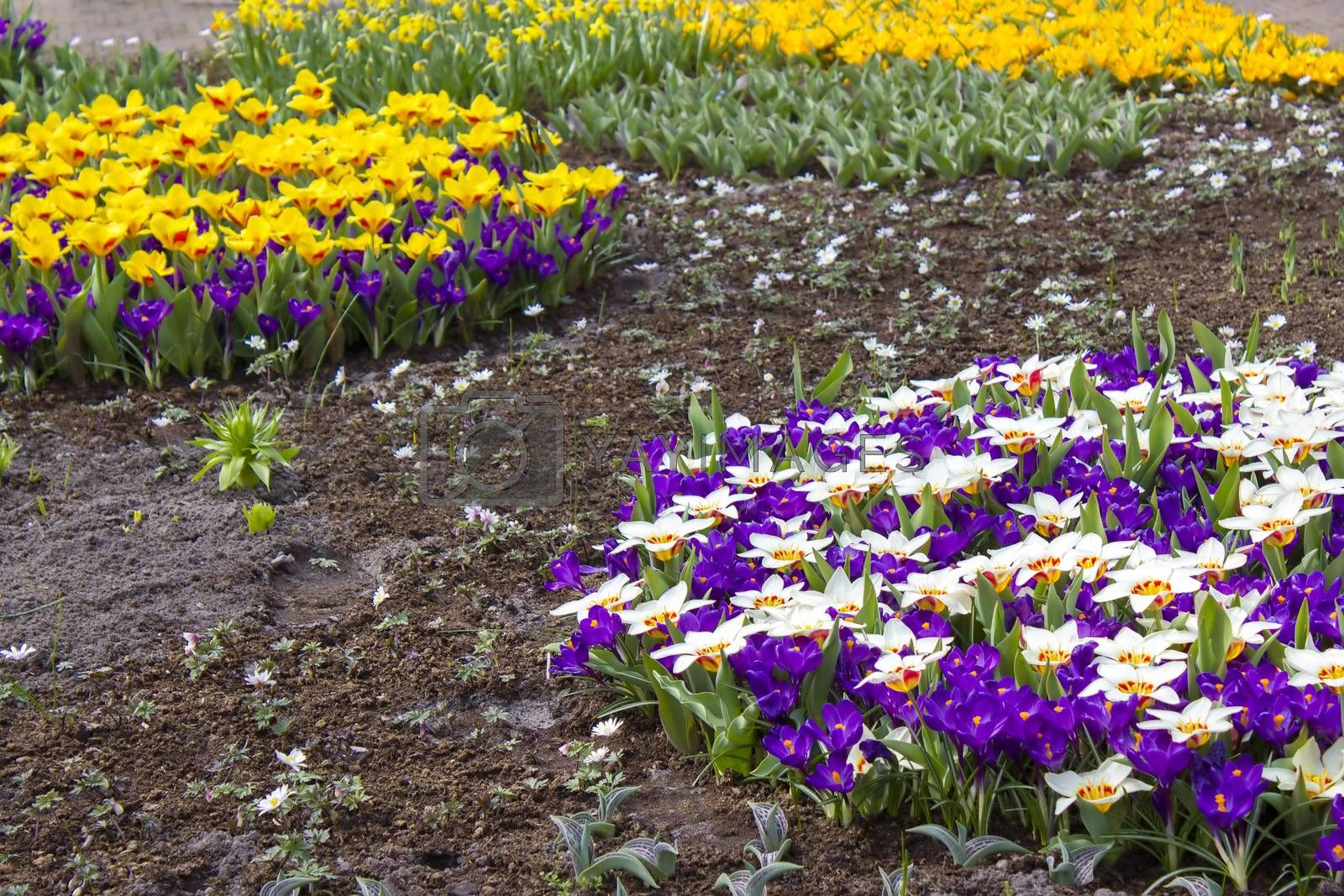 Colorful spring flowers in the park - crocus and tulips