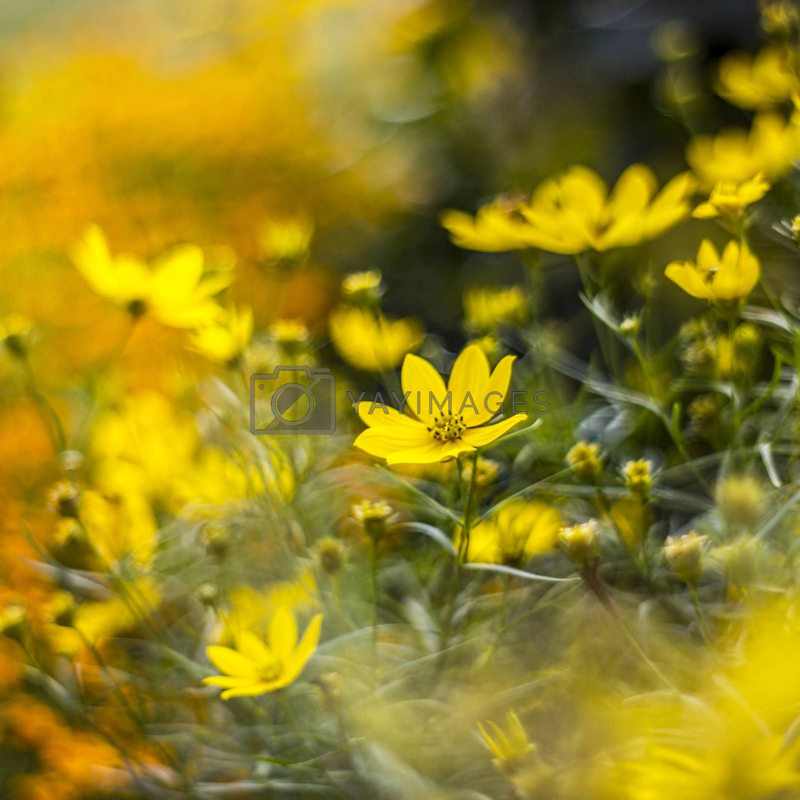 cosmos flowers with bokeh - abstract