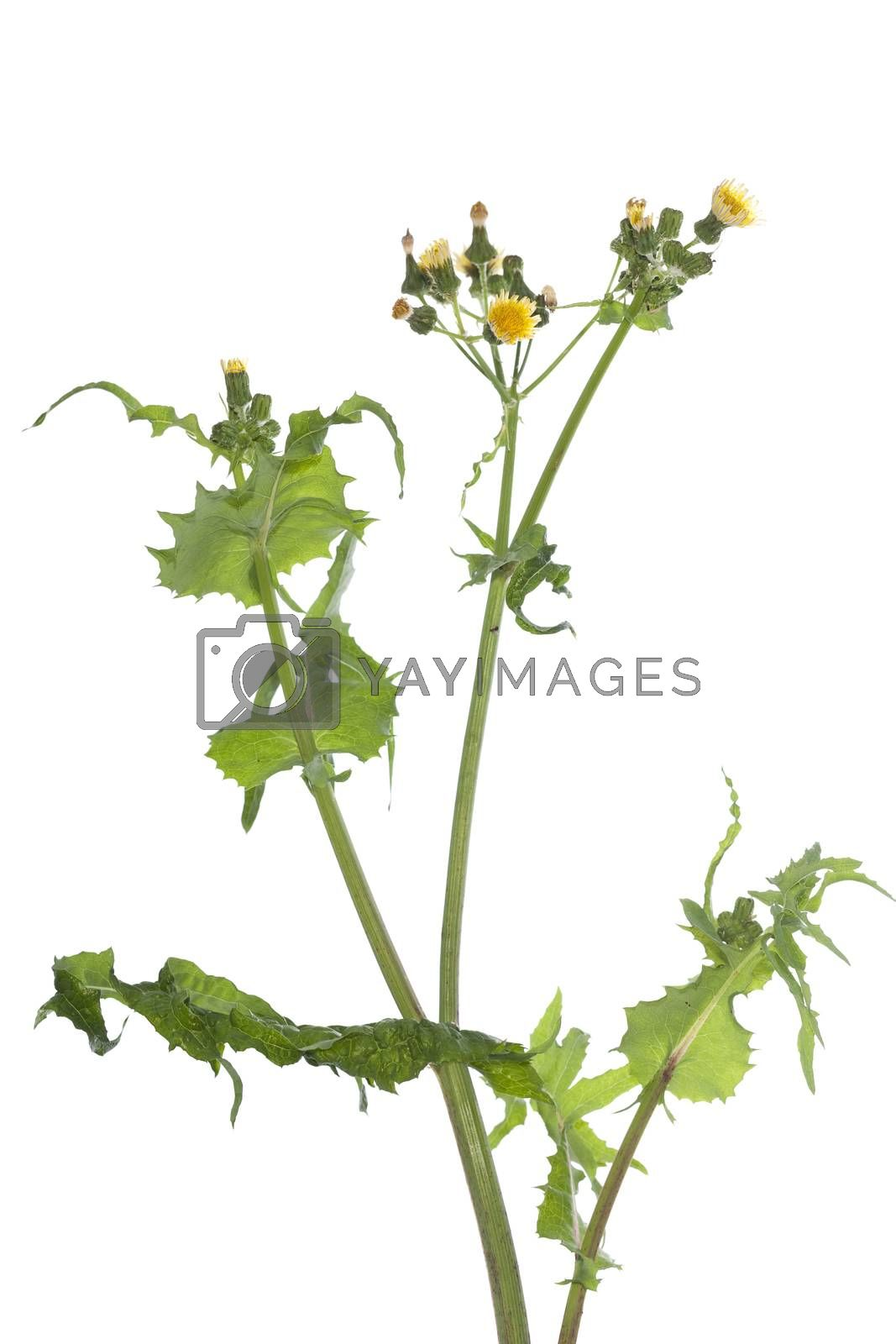 plant with yellow flowers on white background