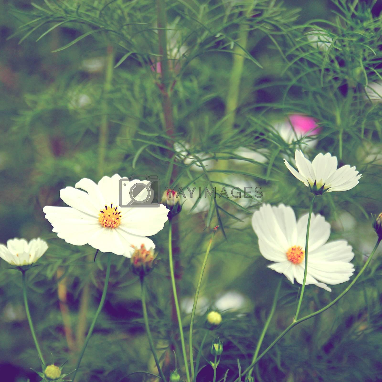 white cosmos flowers in vintage retro tone