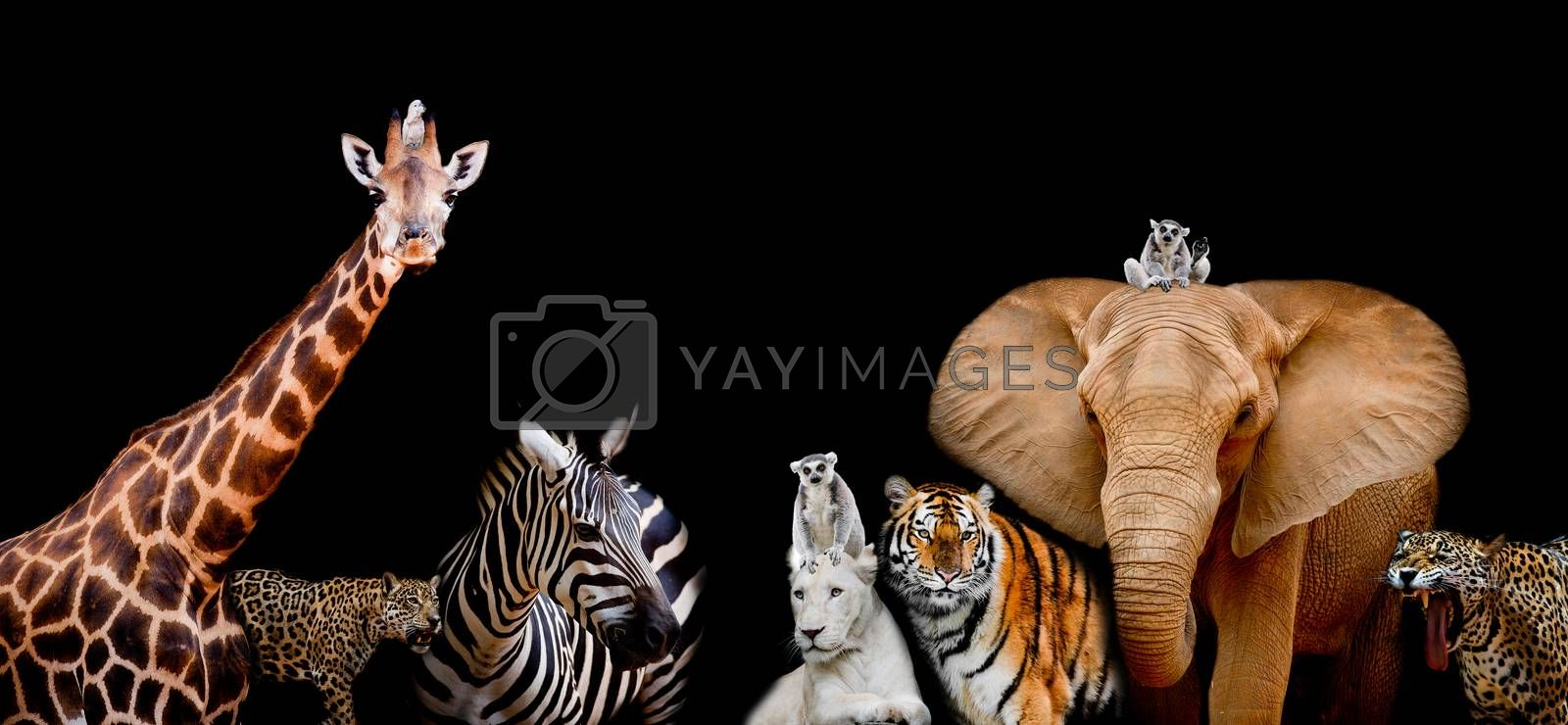 A group of animals are together on a black background with text area. Animals range from an Elephant, Zebra, White Lion, Jaguar, Monkey, Giraffe and Tiger. Use it for a zoo or conservation concept. (And you could find more animals in my portfolio.)