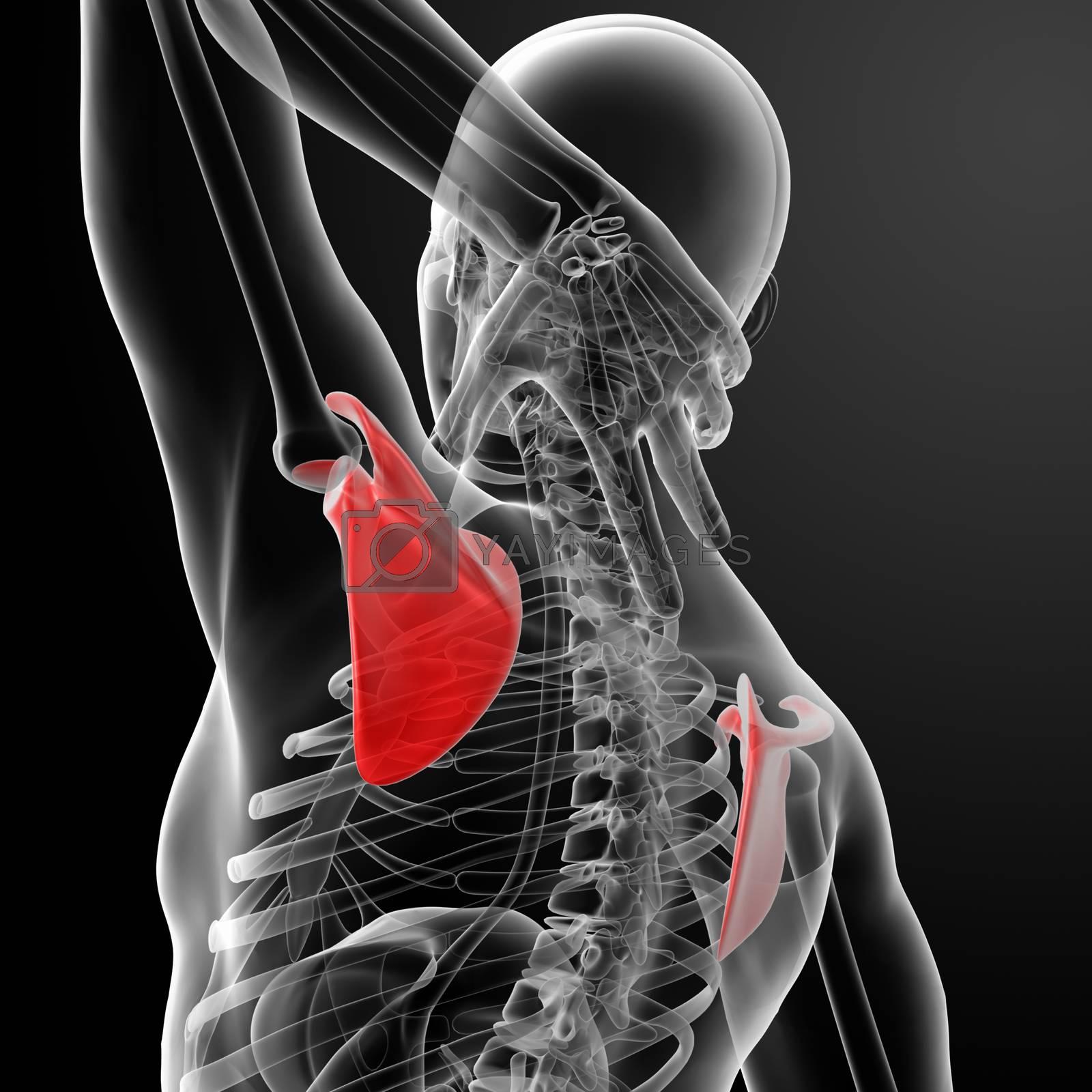 3d render illustration  scapula bone - back view