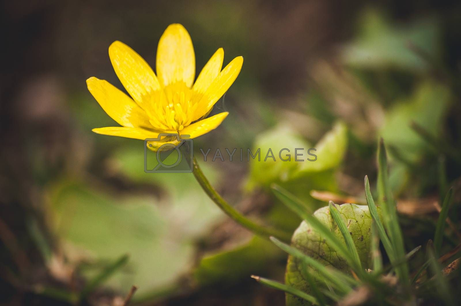 macro photo wild yellow spring flowers primrose