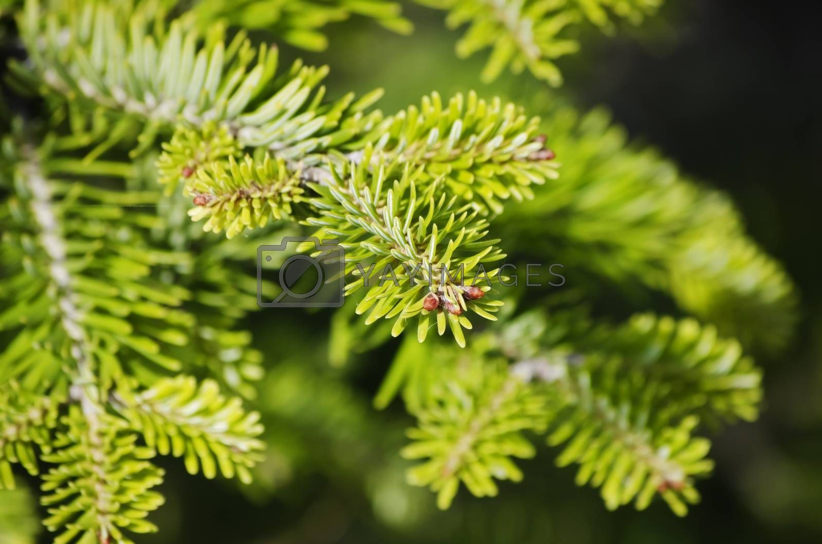 Photo of Green Pine Tree