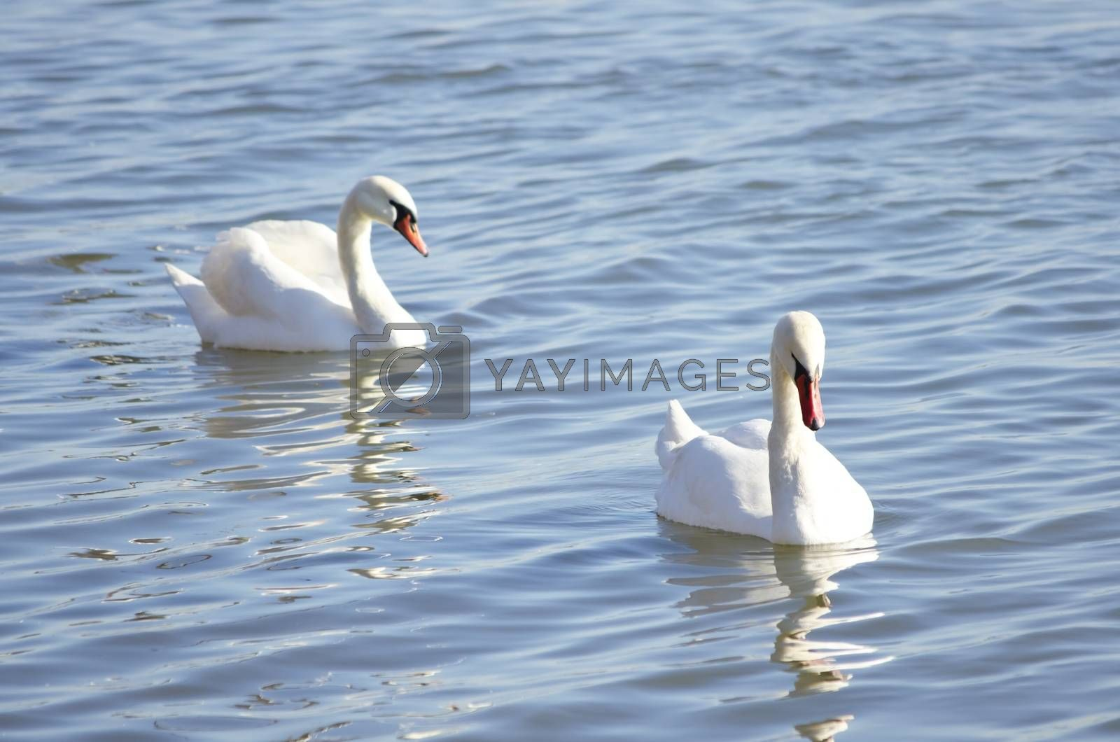 Pair of White Swan in Blue Water, Sunny day