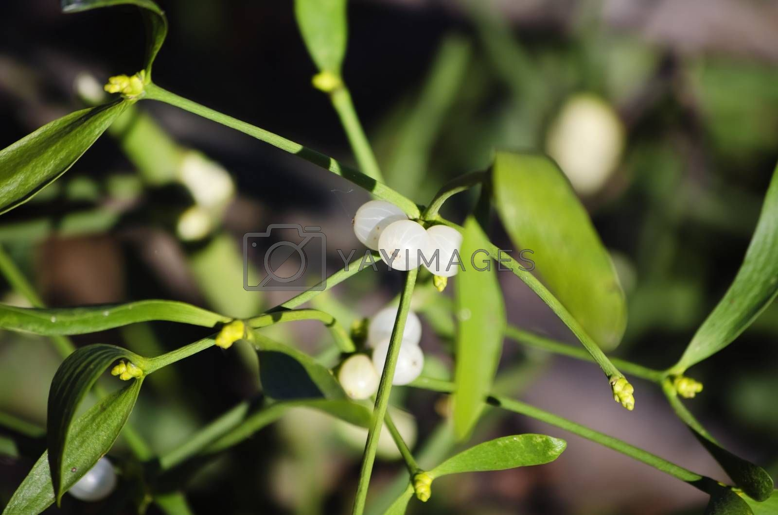 Close up Photo of Mistletoe in Winter Time
