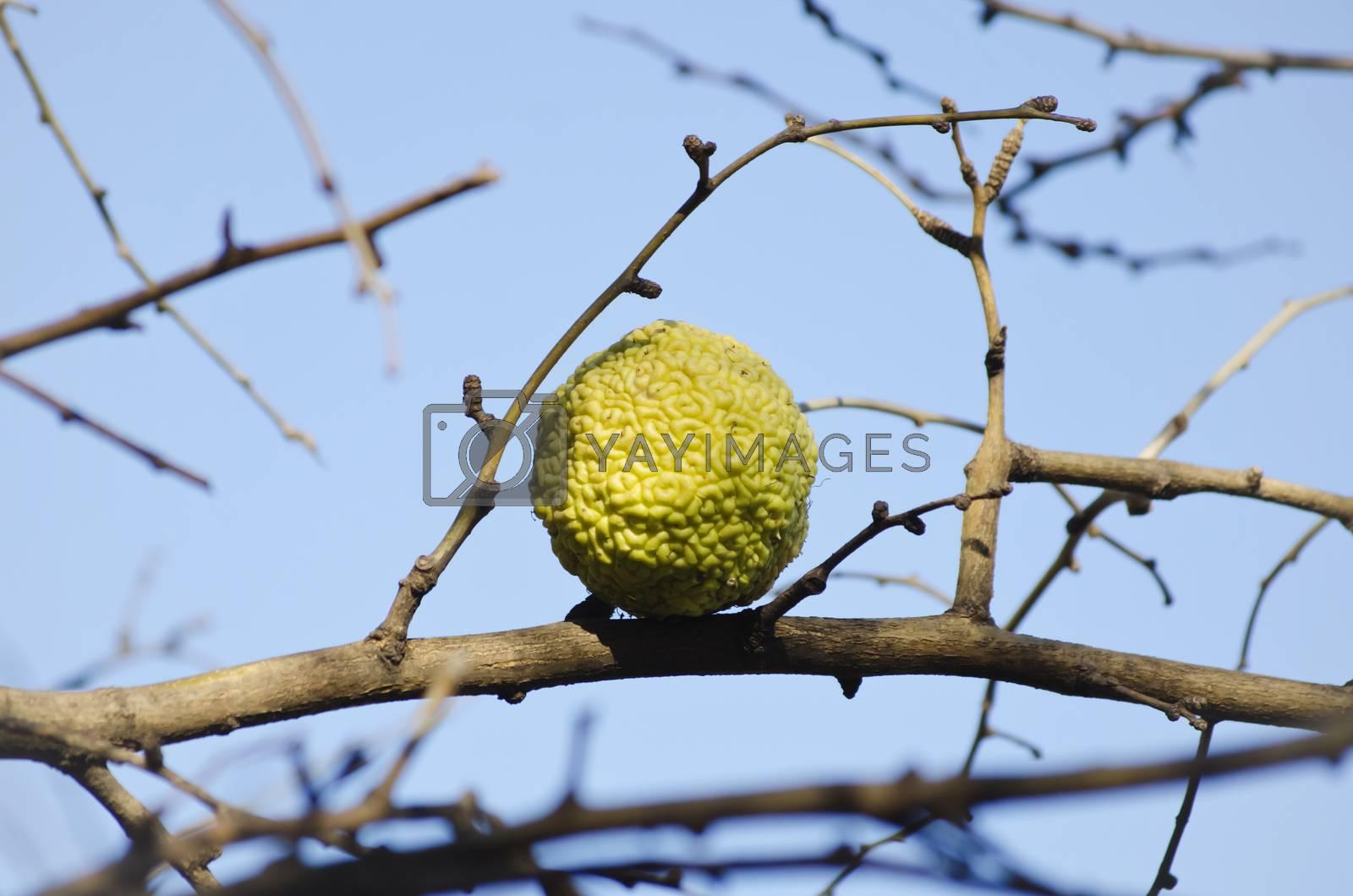 Maclura Pomifera Tree aka Adam`s Apple Tree