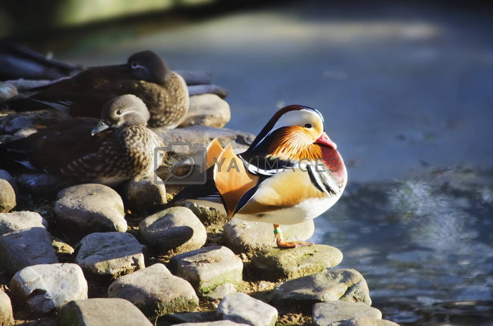 Photo of Mandarin Duck Near Water and Other Birds
