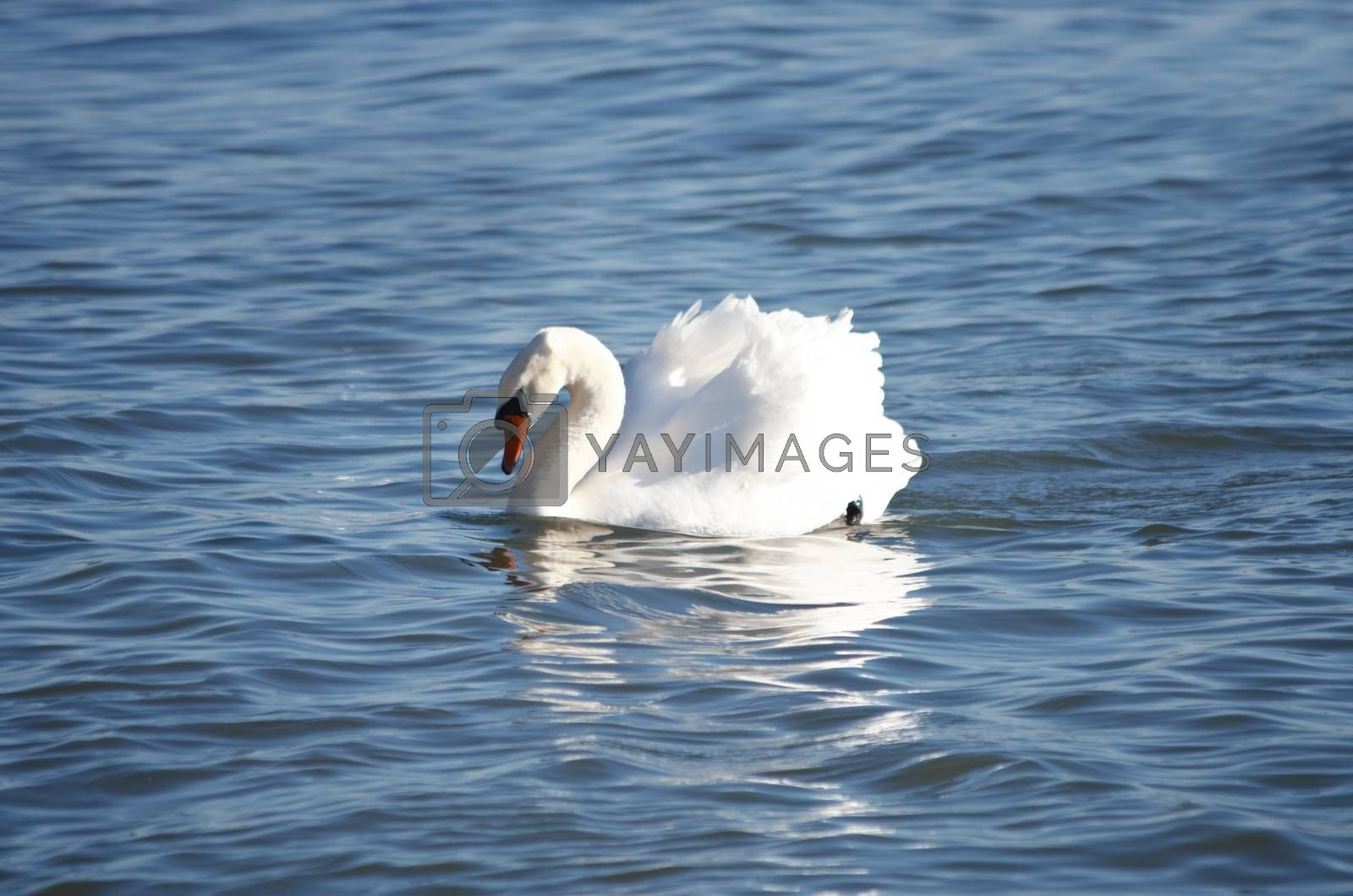 Single White Swan in Blue Water, Sunny day