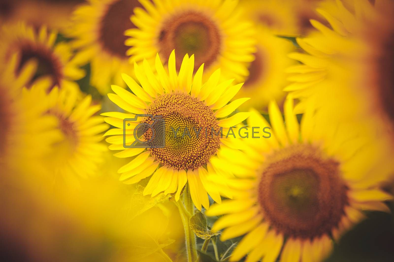 group of  yellow sunflowers in field close up