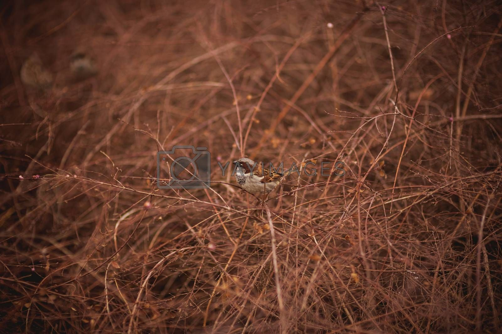 one sparrow bird in bush without leafs