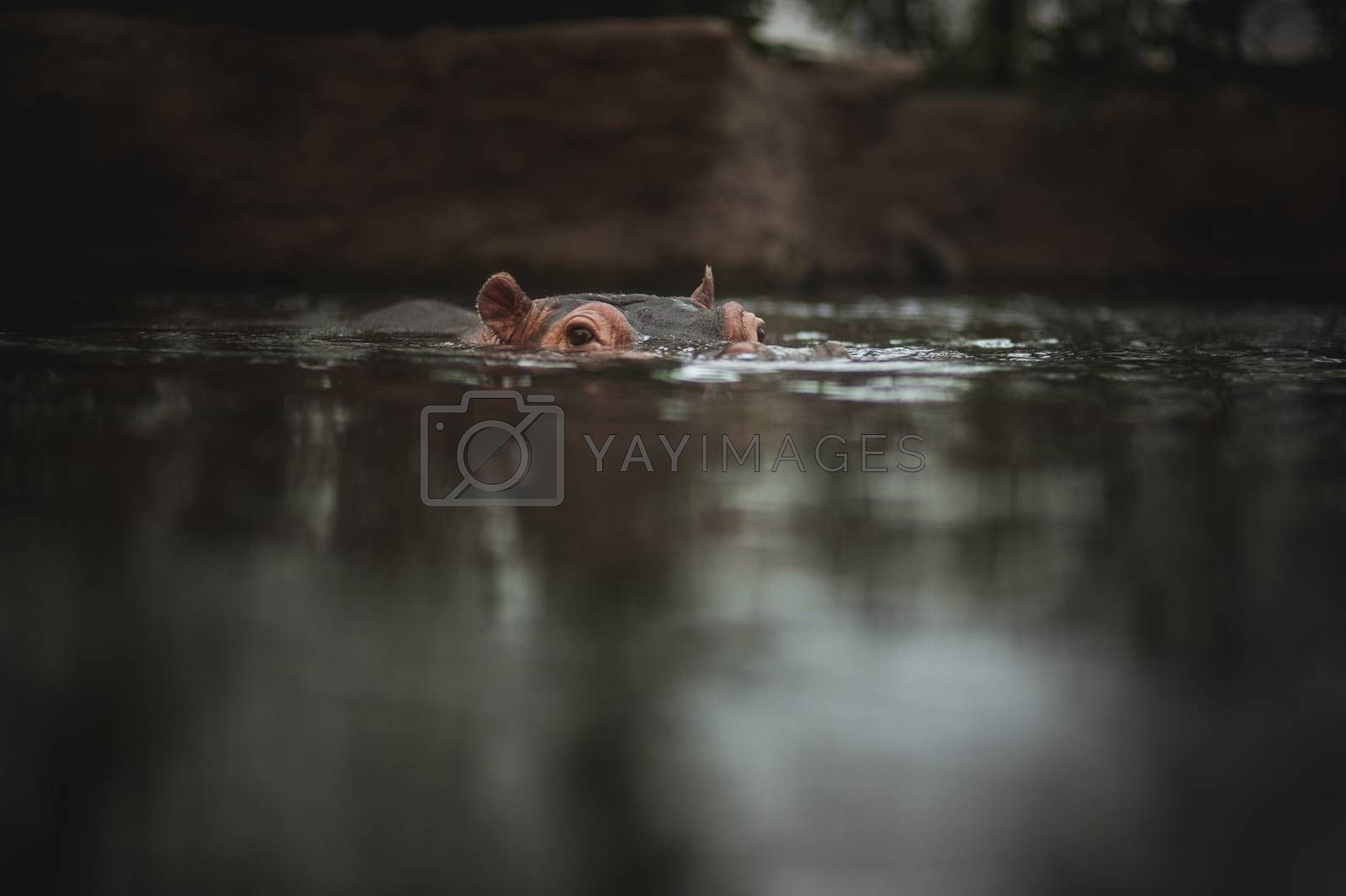 hippo holding head above water in lake