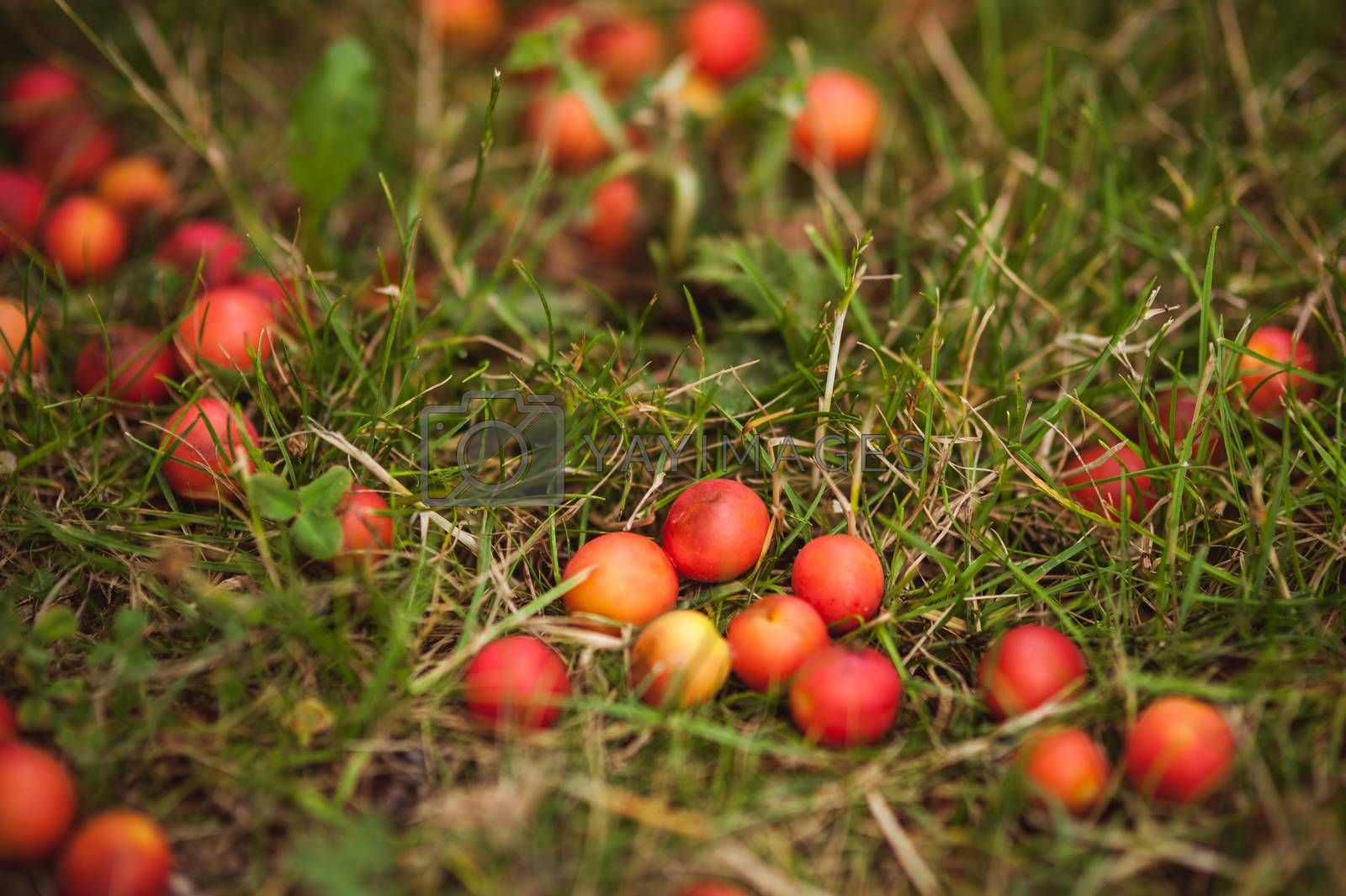 wild yellow plum on the ground in grass
