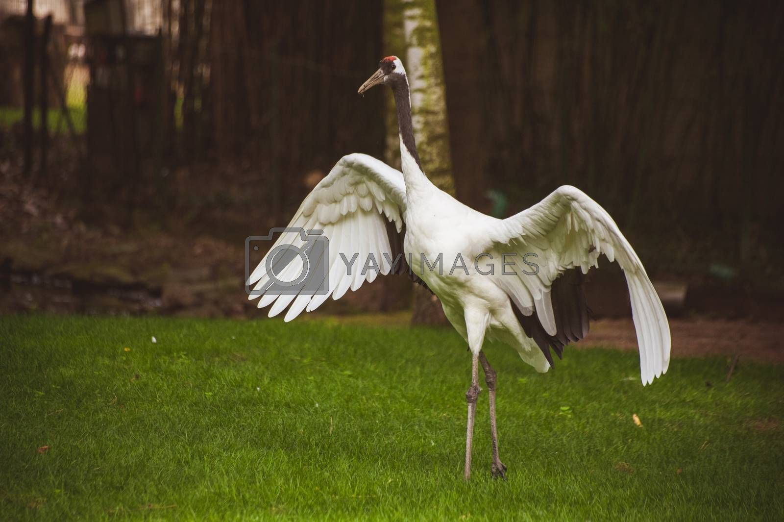 big stork bird with wide open wings