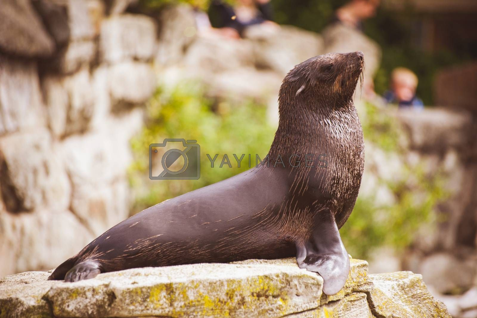 young sea lion seal posing on rock