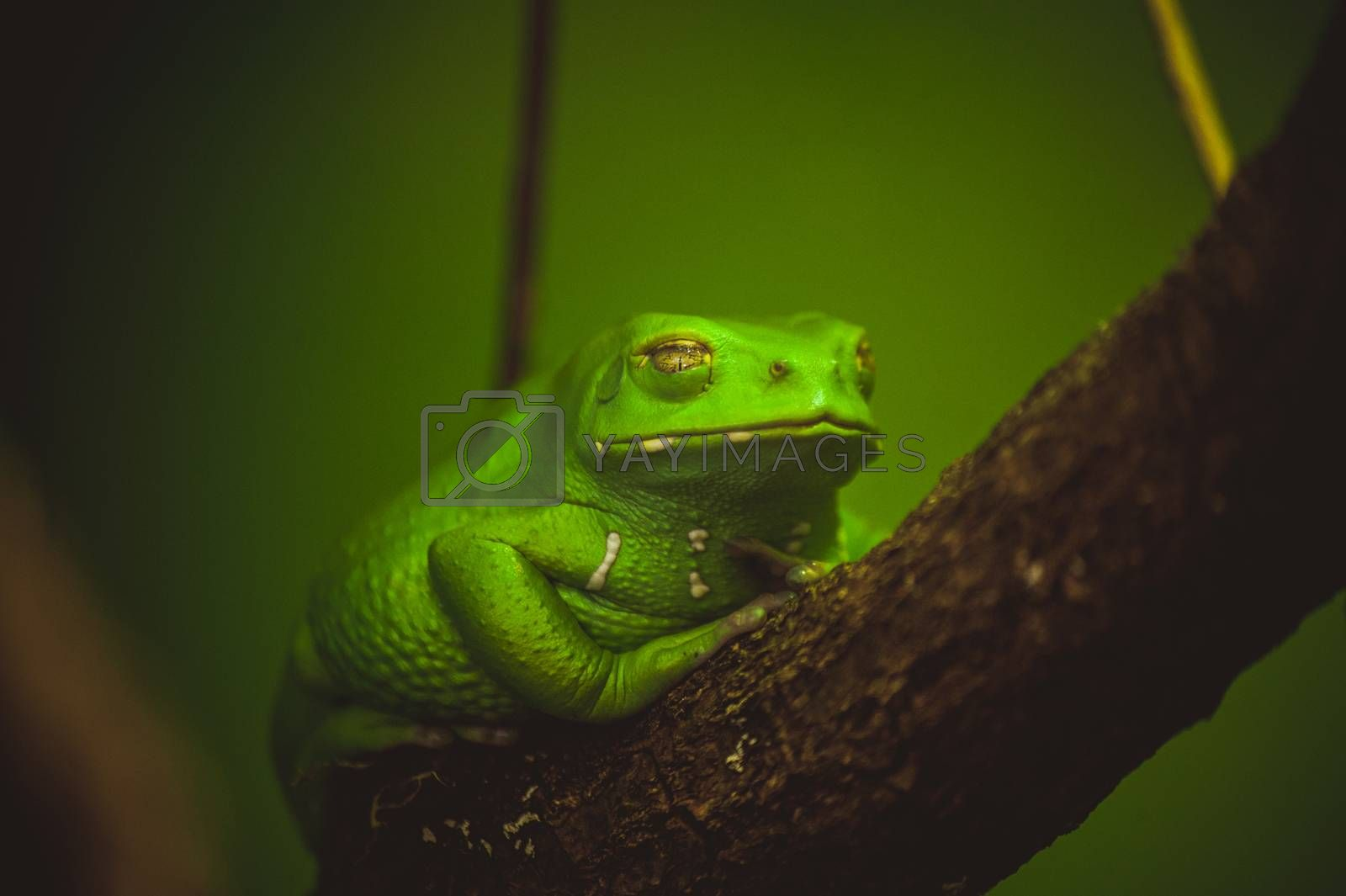 green frog sleeping on branch close up