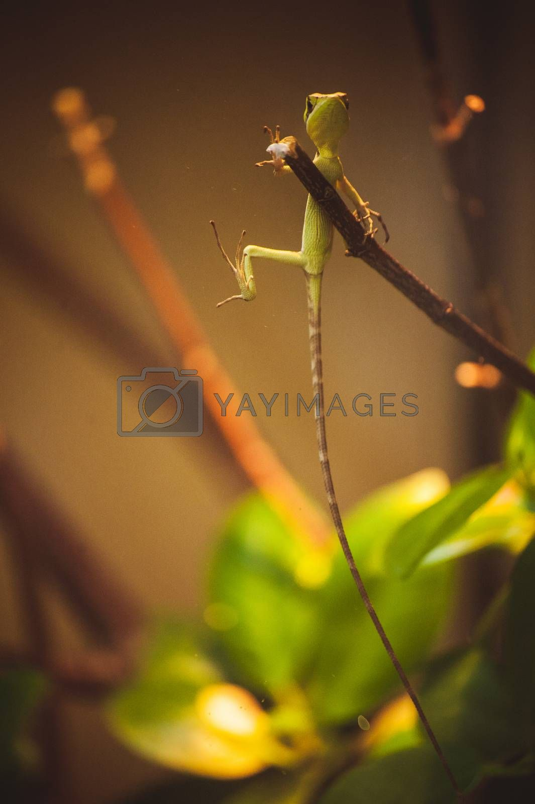 green lizard with very long tail on branch