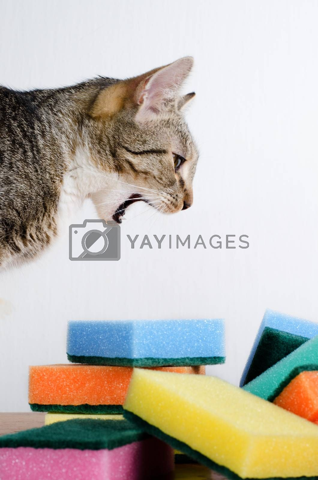 cat and cleaning sponges