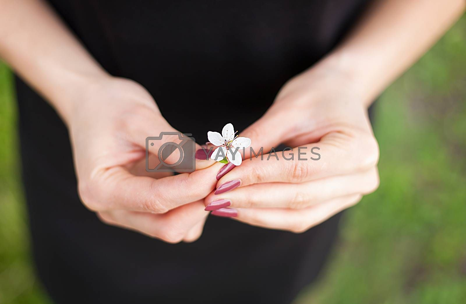 Royalty free image of Woman hand with a spring blossom. Sakura flower by sfinks