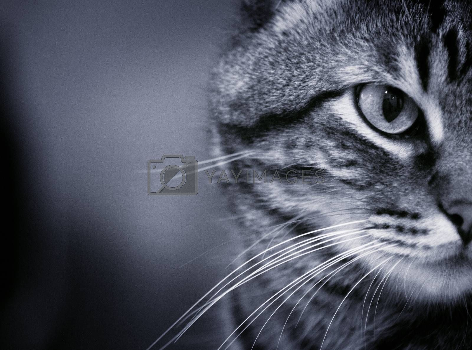 Portrait of cat in black and white.