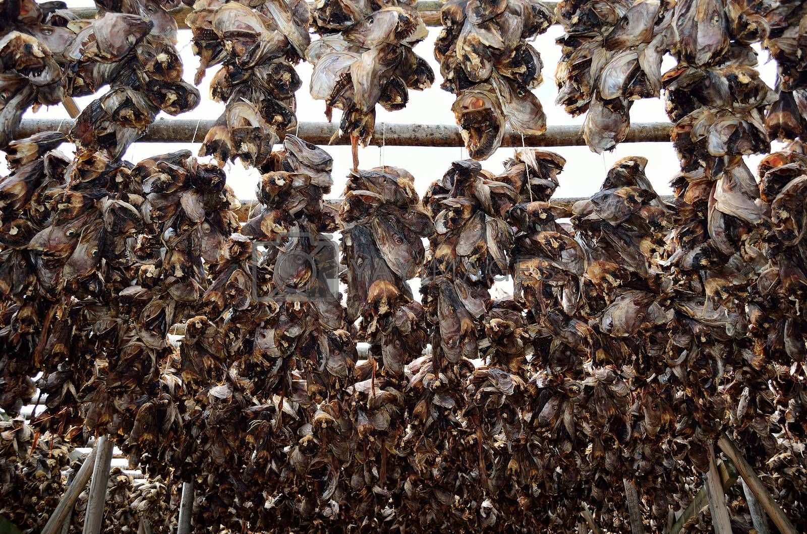 stockfish structure full of cod and other fish hanging to dry in northern norway in summer