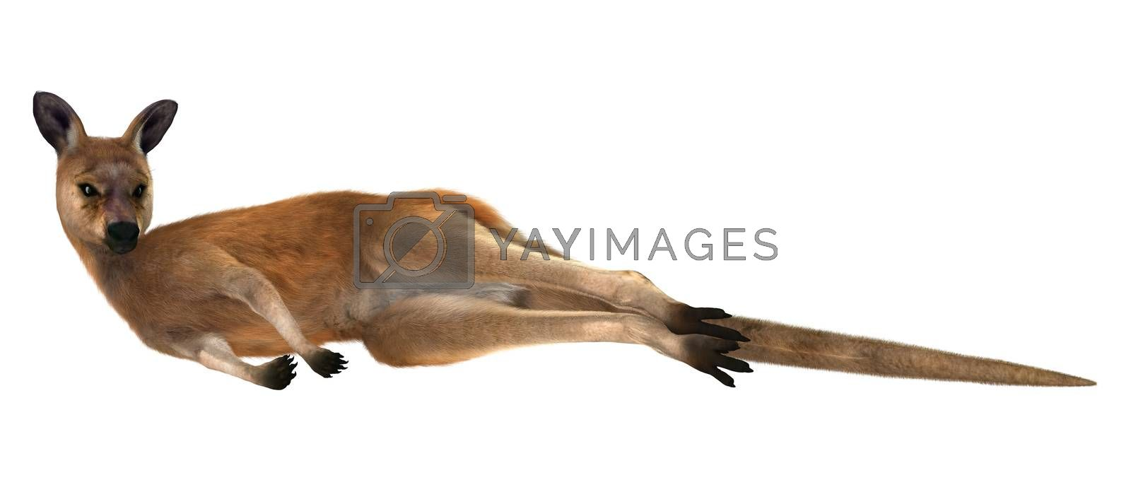 3D digital render of a resting red kangaroo isolated on white background