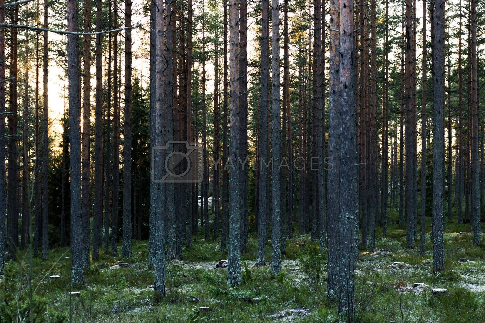 Swedish Pine Forest in Winter