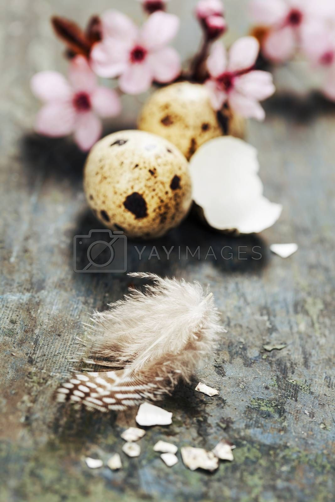 Easter composition with quail eggs and Cherry Blossom branches